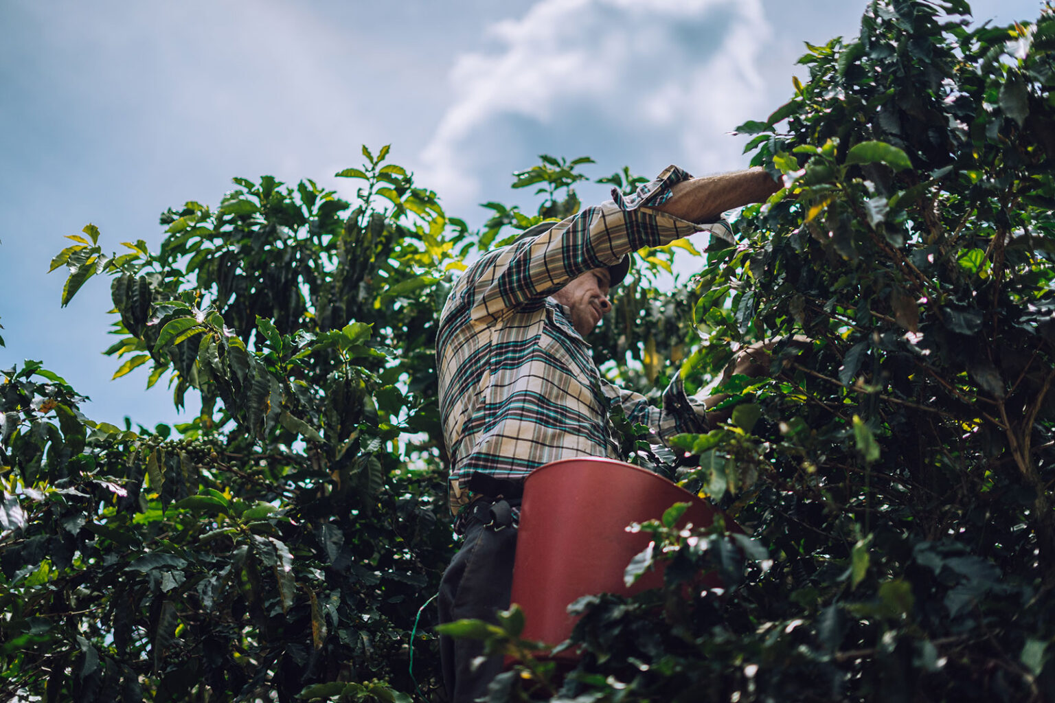A worker handpicking only the ripest of cherries on La Gabriela, one of GCC's farm. March 2020.